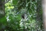 Borno berjanggut putih owa (Hylobates albibarbis)