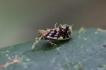 Purple, yellow, and brown planthopper [kalbar_0672]