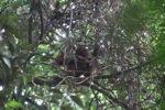 Young orangutan in Gunung Palung [kalbar_0698]