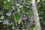 Long-tailed macaque [kalbar_0712]