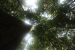 Hutan hujan raksasa pohon di Kalimantan