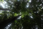 Giant rainforest tree in Borneo [kalbar_0741]