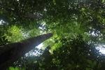 Rainforest canopy in Borneo [kalbar_0744]