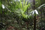 Rainforest palm in Borneo [kalbar_0756]