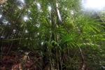 Rainforest palm in Borneo [kalbar_0754]