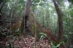 Buttress roots in the rainforest [kalbar_0751]
