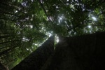 View of the rainforest canopy looking up the trunk of an emergent tree