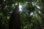 Rainforest in Indonesian Borneo [kalbar_0843]