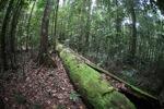 Rainforest in Indonesian Borneo [kalbar_0728]