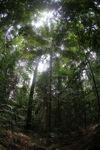 Palm tree in the rainforest of Indonesian Borneo [kalbar_0891]