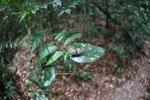 Cicada in the Borneo rainforest [kalbar_0898]