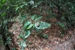 Cicada in the Borneo rainforest [kalbar_0896]