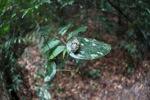 Cicada in the Borneo rainforest [kalbar_0901]