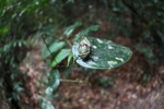 Cicada in the Borneo rainforest [kalbar_0907]