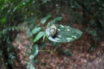 Fisheye view of a cicada in the Borneo rainforest [kalbar_0903]