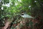 Cicada in the Borneo rainforest