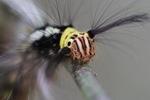 Maroon, yellow, black, and white caterpillar [kalbar_0915]