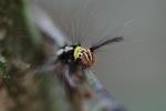 Maroon, yellow, black, and white caterpillar [kalbar_0916]