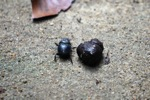 Dung beetle next to a pile of dung