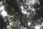Gibbon swinging from a branch in the canopy [kalbar_0969]