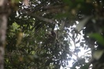 Kalimantan berjanggut putih gibbon