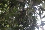 Bornean white-bearded gibbon [kalbar_0987]