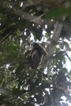 Bornean white-bearded gibbon [kalbar_0990]
