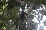 Bornean white-bearded gibbon [kalbar_0992]