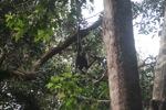 Bornean white-bearded gibbon [kalbar_1004]