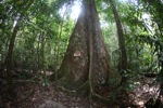 Canopy tree with buttress roots [kalbar_1031]