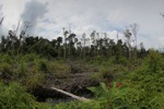 Destroyed peat forest in Borneo [kalbar_1141]