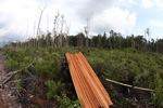 Penebangan liar kayu dipotong dari hutan hujan Kalimantan