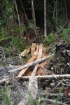 Illegal logging trail