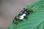 Ants feeding on bird dropping