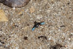 Blue-winged fly [kalbar_1355]