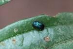 Blue-green beetle