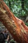 Pohon dengan kulit merah di hutan Kalimantan
