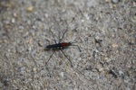 Black and red insect resembling a water skeeter