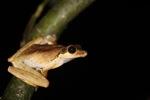 Tree frog [kalbar_1690]