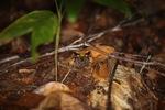 Malaysian Leaf Frog (Megophrys nasuta)