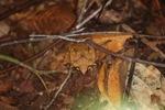 Asian Horned Frog (Megophrys nasuta) [kalbar_1703]