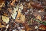 Borneo Leaf Frog (Megophrys nasuta)