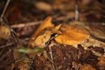 Malay Leaf Frog (Megophrys nasuta)