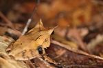 Asian Leaf Frog (Megophrys nasuta)