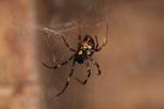 Black spider [kalbar_1711]