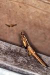 Wood-like praying mantis [kalbar_1716]