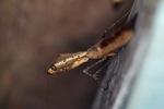 Wood-like praying mantis