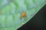 Orange jumping spider [kalbar_1729]