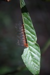 Red and yellow hairy caterpillar