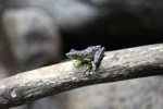 Green-bellied waterfall frog [kalbar_1768]